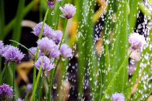 chives-2342934_1920
